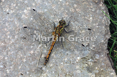 Black Darter dragonfly female (Sympetrum danae) resting on a piece of concrete, Insh Marshes, Badenoch & Strathspey, Scottish...