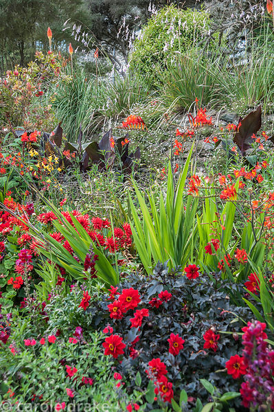 Hot border below the house bursting with colour, includes crocosmias, dahlias, antirrhinums, dark leaved bananas and red hot ...