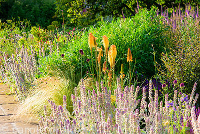 Purples and orange in the gravel garden planted with stachys, Allium sphaerocephalon, Verbena bonariensis, grasses and knipho...