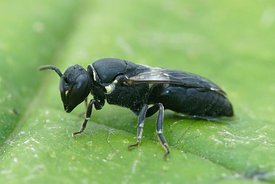 Close up of a female  Large Yellow-face Bee, Hylaeus signatus