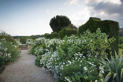 The White Garden at Bourton House, Moreton-in-Marsh in August with borders of Argyranthemum 'Starlight', abutilon, roses and ...