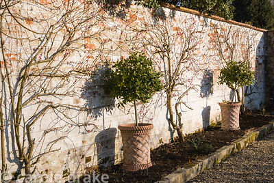 Peaches flowering on the south facing wall of the kitchen garden beside standard bay in a terracotta container. Melplash Cour...