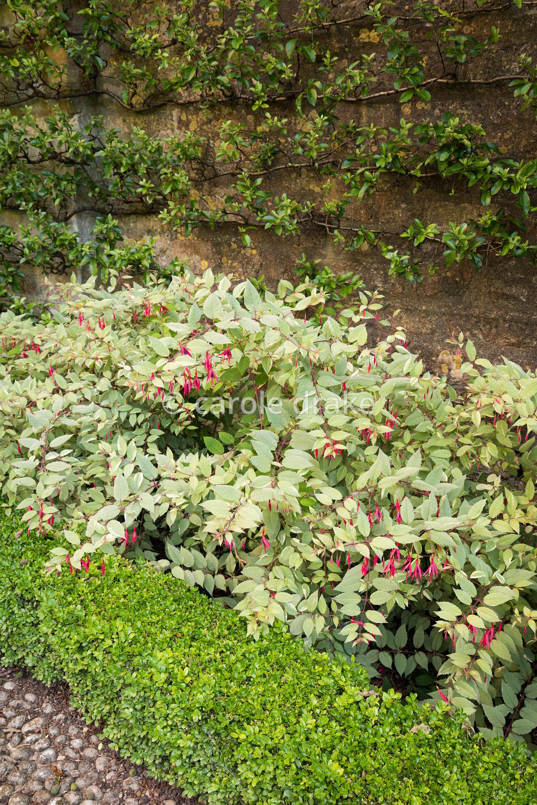 Fuchsia magellanica var. gracilis 'Variegata' inside box edged beds below espaliered pyracantha in the Fountain Garden at Bou...