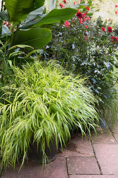 Hakonechloa macra 'All Gold' beside Dahlia 'Bishop of Llandaff' at Barn House, Gloucestershire in September