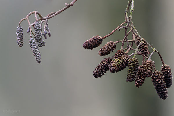 Winter Catkins of the Alder tree