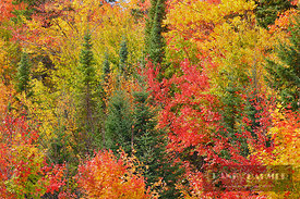 Mixed forest with sugar maples in autumn colours and spruces - North America, Canada, Ontario, Nipissing, Algonquin Provincia...