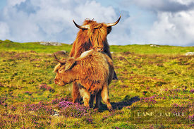 Highland cattle young bulls playing - Europe, United Kingdom, Scotland, Outer Hebrides, North Uist, Scolpaig (Highlands, Hebr...