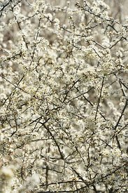 Blackthorn or sloe, Salix prunosa, is an important early and richly  white blossoming bush