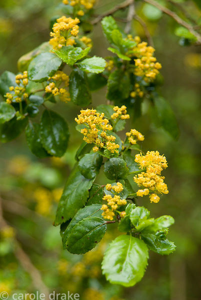 Azara serrata. Trewidden, Buryas Bridge, Penzance, Cornwall, UK
