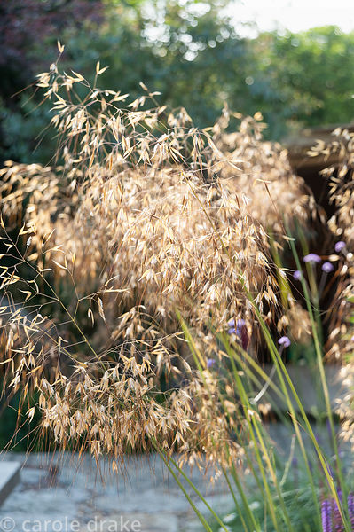 Stipa gigantea. The 'Garten' Garden, Lower Treculliacks Farm, Falmouth, Cornwall, UK