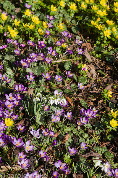 Naturalized Crocus tommasinianus, aconites and snowdrops in grass.