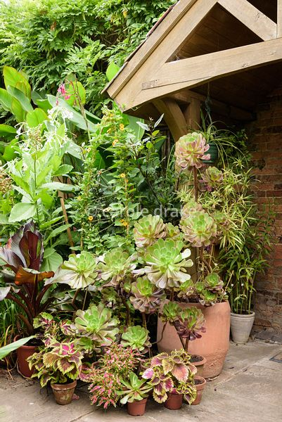 Plants clustered around the front door include solenostemon, Aeonium 'Voodoo', climber Thunbergia alata, Nicotiana sylvestris...