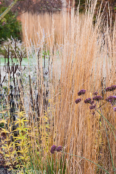 Calamagrostis x acutiflora 'Karl Foerster', Verbena bonariensis and Veronicastrum virginicum 'Album' in the walled garden at ...
