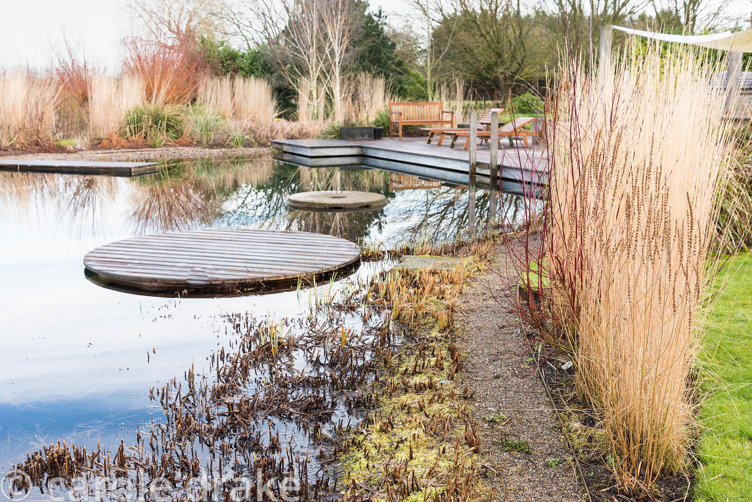 Upright grass Calamagrostis x acutiflora 'Karl Foerster' with cornus beside a natural swimming pool at Ellicar Gardens, Notts