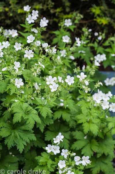 White flowered hardy geranium. Tony Ridler's garden, Swansea, Wales, UK