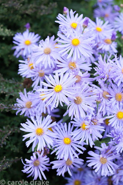 Asters. Perrycroft, Upper Colwall, Herefordshire, UK