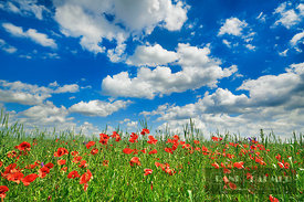Corn poppy in corn field (lat. papaver rhoeas) - Europe, Germany, Bavaria, Upper Bavaria, Munich, Taufkirchen - digital