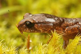 Milky antipredator secretion in from the glands on the head by the Ensatina eschscholtzii salamander in North California