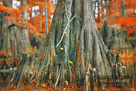 Bald cypress aerial roots (lat. taxodium distichum) - North America, USA, Louisiana, Caddo, Caddo Lake, Trees, Stacy Landing ...
