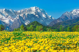 Mountain impression Zugspitze and dandelion meadow - Europe, Germany, Bavaria, Upper Bavaria, Garmisch-Partenkirchen, Murnau,...