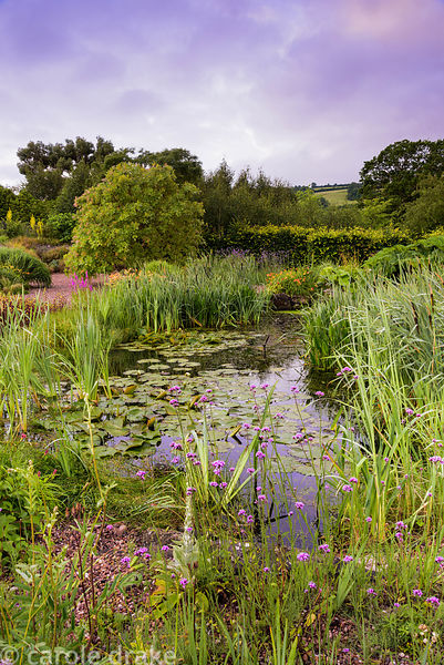 Naturalistic pond surrounded by lush planting including bulrushes, Verbena bonariensis and day lilies at the Yeo Valley Organ...