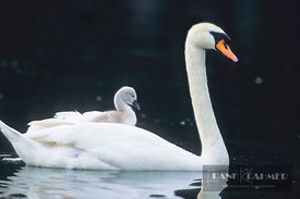 Mute swan with chick in feathers (lat. cygnus olor) - Europe, Germany, Bavaria, Upper Bavaria, Munich, Taufkirchen - scan