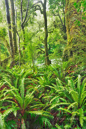 Fern in rainforest - Oceania, New Zealand, South Island, Southland, Fiordland, Hollyford River, Lake Marion Track (Polynesia,...