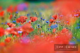 Corn poppy and cornflowers in corn field (lat. papaver rhoeas) - Europe, Germany, Mecklenburg-Vorpommern, Mecklenburg Lake Di...