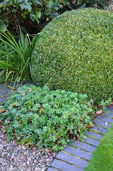 Alchemilla conjuncta beside a clipped box sphere