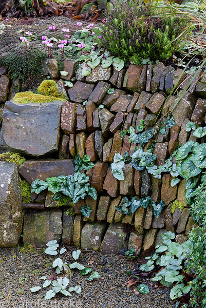 Cyclamen seeded into a stone faced bank in the garden at Higher Cherubeer, Devon