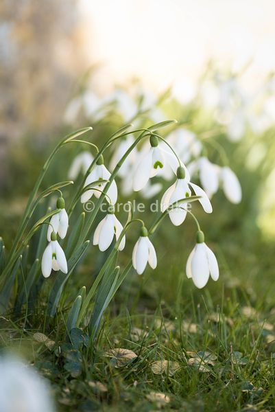 Galanthus 'Magnet' at the Old Rectory, Netherbury in January