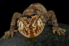 northern spiny-tailed gecko (Strophurus ciliaris)