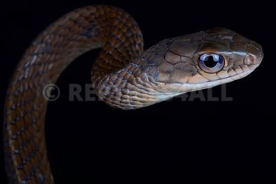White bellied rat snake (Ptyas fusca)