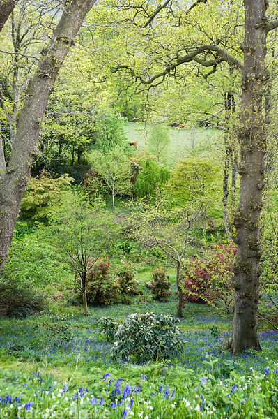 View down from the top of the wooded dell over sheets of bluebells and greater stitchwort to pieris and rhododendron in the v...