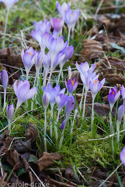 Naturalized Crocus tommasinianus at Welford Park, Welford, Newbury, Berkshire, UK