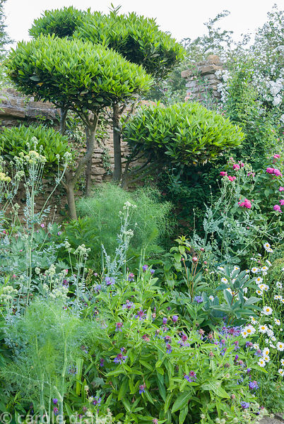 Mixed border including clipped bay with fennel, Centaurea montana and ox-eye daisies. Private garden, Dorset, UK