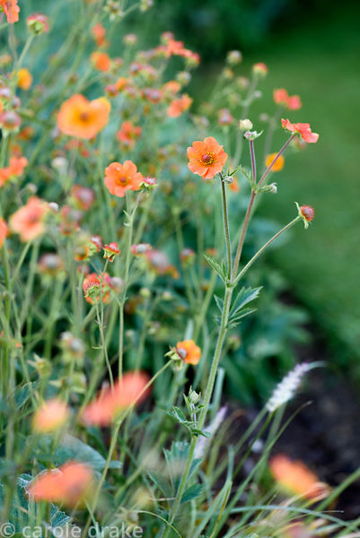 Geum 'Totally Tangerine'. Malthouse Farm, Hassocks, Sussex