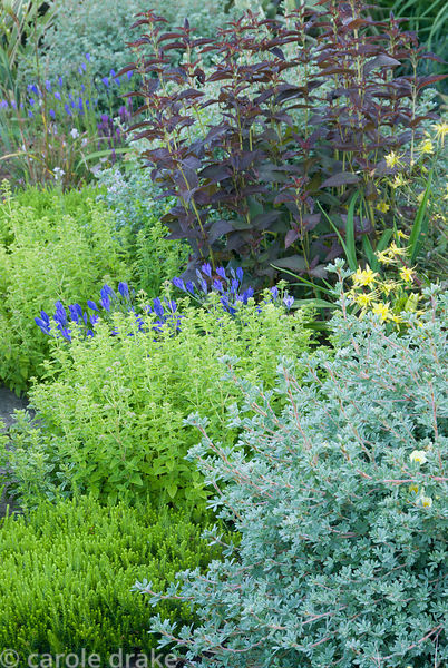 Planting around raised rill includes winter heather, soft green marjoram, shrubby potentilla, deep brown Lysimachia ciliata '...