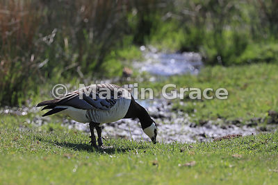 Feral Barnacle Goose (Branta leucopsis) grazing short turf in a wetland habitat, Highland Wildlife Park, Kincraig, Inverness-...