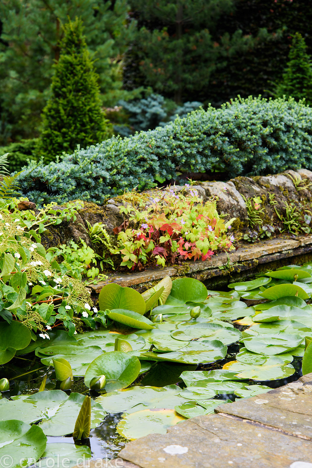 Raised rill full of water lilies in the Canal Garden edged with trained cypress and self seeded geraniums and ferns at York G...