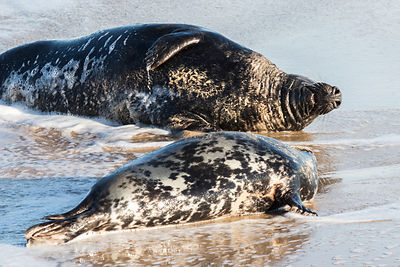 Bull and cow grey seal