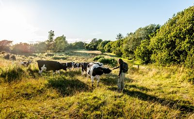 Hiker and cows on Mors, Denmark