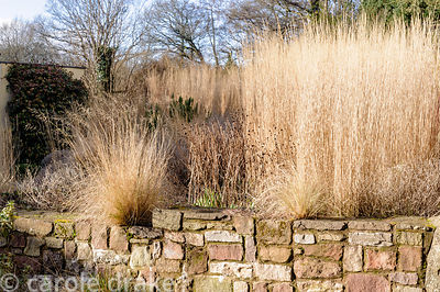 Eragrostis curvula in wall pockets. Barn House, Brockweir Common, Glos, UK