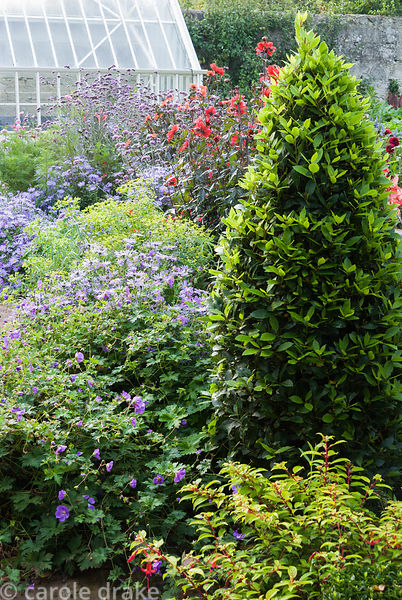 Clipped bay cone surrounded by golden leaved fuchsia, asters, euphorbias, Dahlia 'Bishop of Llandaff' and Verbena bonariensis...