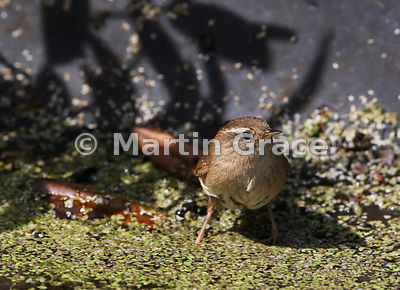 Eurasian (Winter) Wren (Troglodytes troglodytes) standing in the edge of the pond, Lake District National Park, Cumbria, England