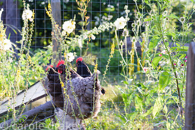 Hens seen through a fence, surrounded by hollyhocks at Five Oaks Cottage in July