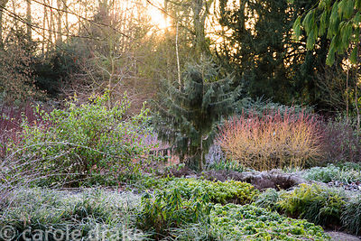 Winter garden on a frosty January morning with the orange stems of Cornus 'Midwinter Fire', ferns, hellebores and Rubus thibe...