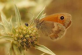 Coenonympha pamphilus, Rousson