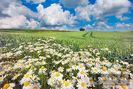 Chamomile in wheat field (lat. matricaria chamomilla) - Europe, Germany, Bavaria, Upper Bavaria, Freising, Giggenhausen - dig...