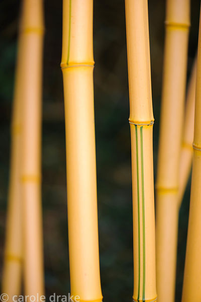 Phyllostachys vivax f. aureocaulis. Barn House, Brockweir Common, Glos, UK